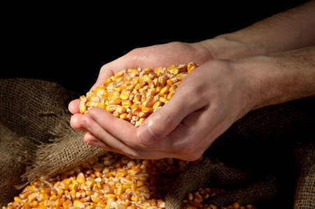man hands with grain, on yellow corn background photo