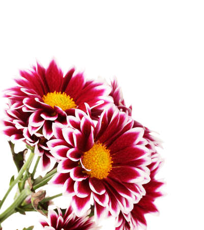 beautiful chrysanthemum isolated on white photo