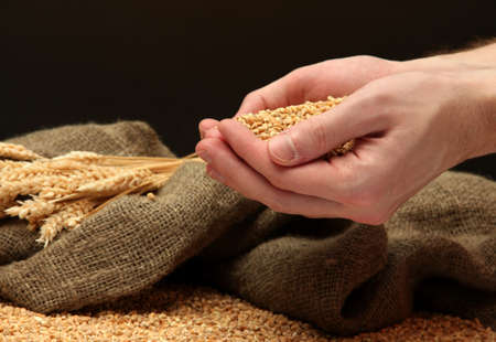 man hands with grain, on brown background photo