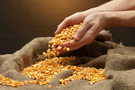 man hands with grain, on brown corn background photo