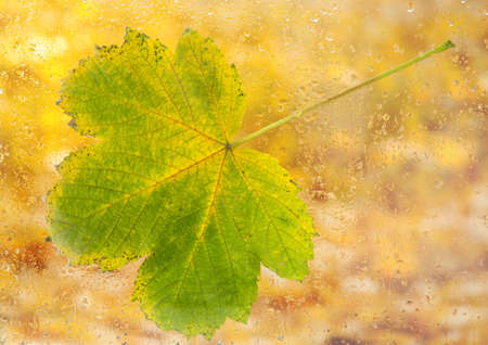 autumn maple leaf on glass with natural water drops photo