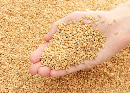 man hand with grain, on wheat background photo