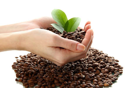 Coffee beans with leaves in hand isolated on white photo