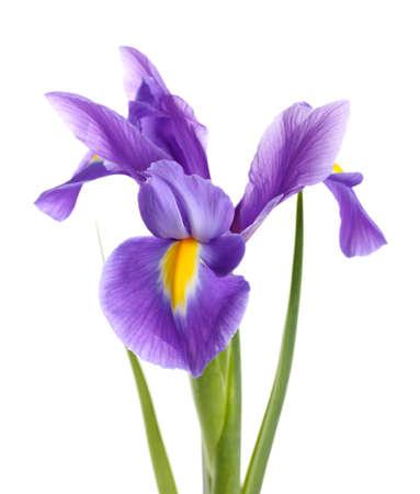 Purple iris flower, isolated on white photo
