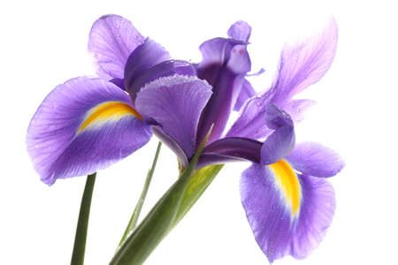 Purple iris flower, isolated on white photo
