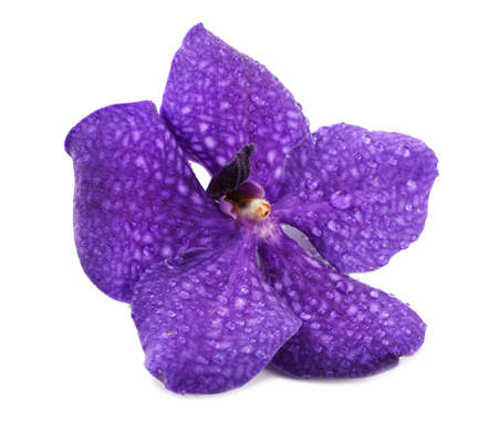 vanda: Purple orchid flower, isolated on white