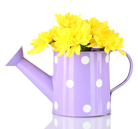 colorful chrysanthemums in violet watering can with white polka dot isolated on white photo