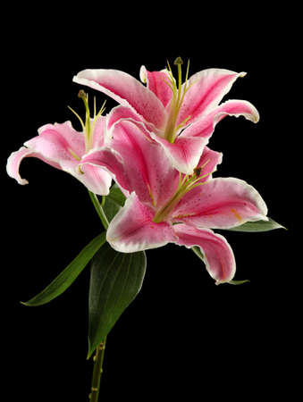 beautiful pink lily, on black background photo