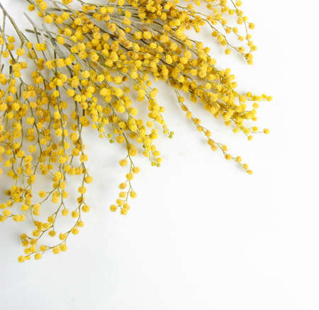 bunch up: Twigs of mimosa flowers, isolated on white