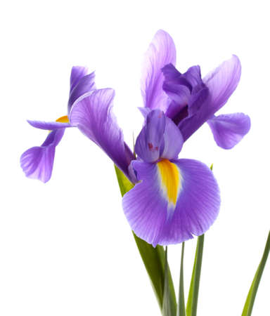 blooming. purple: Purple iris flower, isolated on white