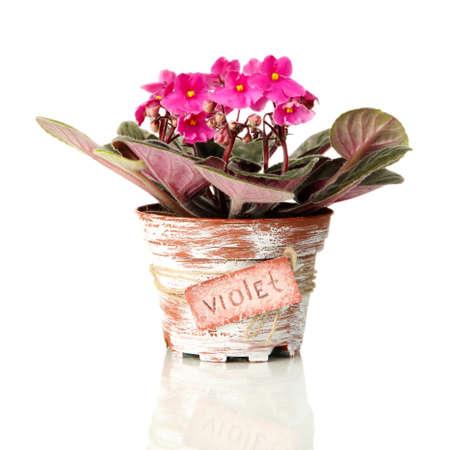 Bright saintpaulia in flowerpot, isolated on white photo