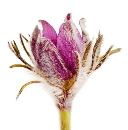 pulsatilla: Purple pasque flowers, isolated on white