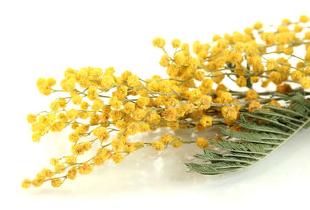 Twigs of mimosa flowers, isolated on white photo