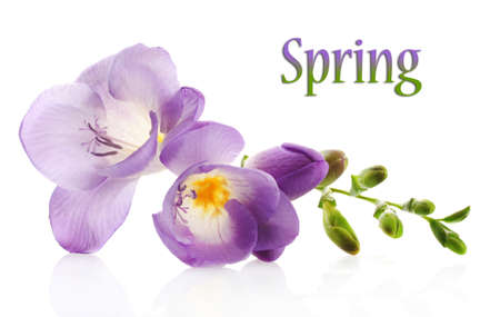 freesia: Purple freesia flower, isolated on white