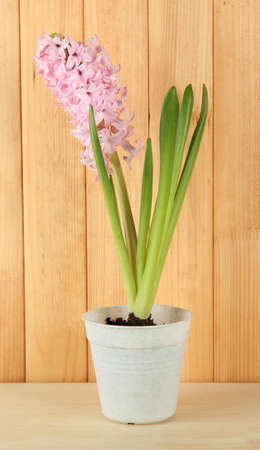Beautiful hyacinth in flowerpot, on wooden background photo