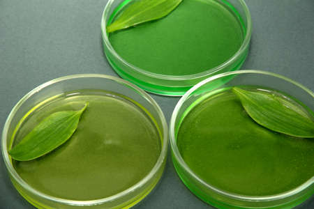 Genetically modified leaves tested in petri dishes, on grey background photo