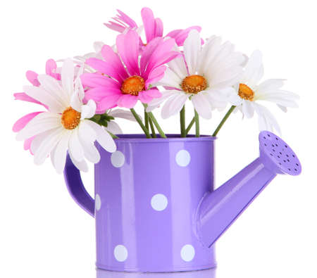 watering can: Beautiful daisies in colorful watering can isolated on white