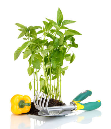 Pepper seedlings with garden tools isolated on white photo