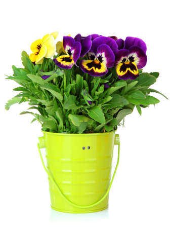 Beautiful pansies flowers isolated on a white photo