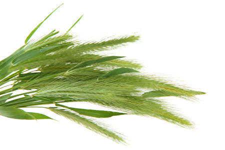 spikelets: Green spikelets, isolated on white