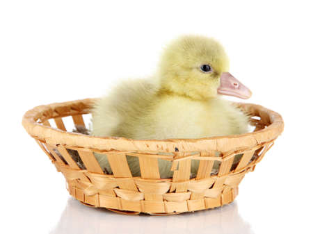 Little duckling in wicker basket isolated on white