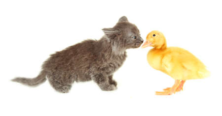 Cute duckling and kitten, isolated on white photo