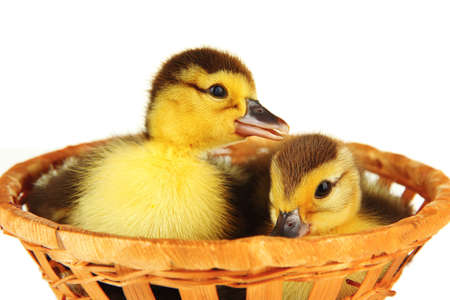 Cute ducklings in wicker basket, isolated on white photo