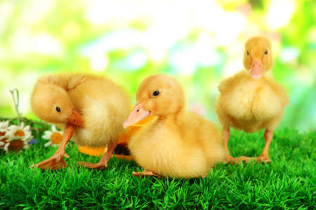 Cute ducklings with drinking bowl on green grass, on bright background photo