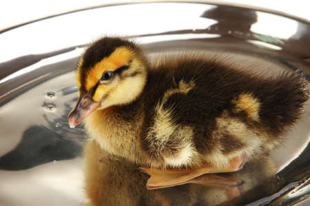 Floating cute duckling close up