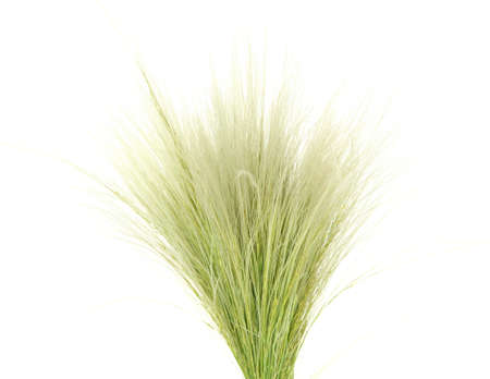 dry grass: Feather Grass or Needle Grass, Nassella tenuissima isolated on white