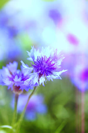 Beautiful cornflowers, outdoors photo