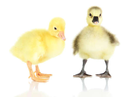 Little ducklings isolated on white photo