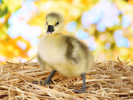 Little duckling on straw on bright background photo