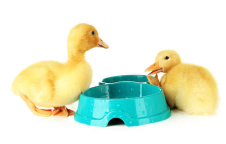 Cute ducklings, with drinking bowl isolated on white photo