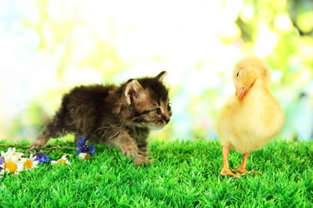 Cute duckling and fluffy kitten on green grass, on bright background photo