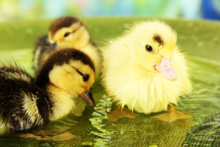 Cute ducklings swimming, on bright background photo