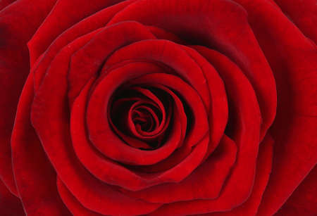 Beautiful red rose, close up photo