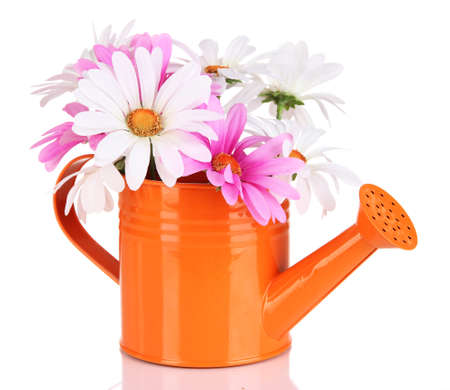 good: Beautiful daisies in colorful watering can isolated on white