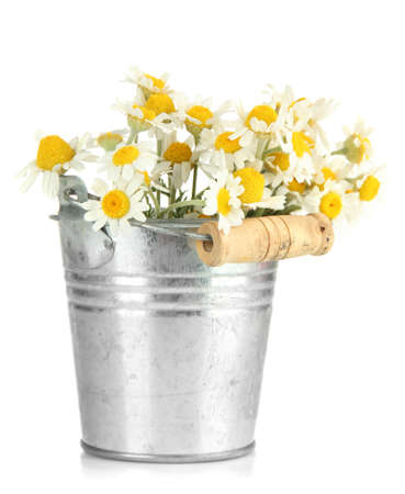 Beautiful wild camomiles in  pail, isolated on white photo