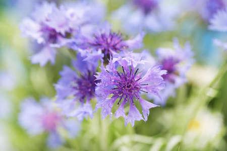garden cornflowers: Beautiful cornflowers, outdoors Stock Photo