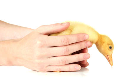 webbed: Hand with cute duckling, isolated on white