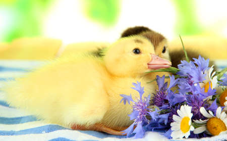 Cute ducklings on bright background photo