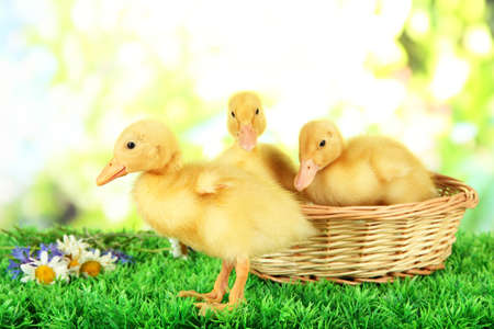 Cute ducklings in wicker basket, on green grass, on bright background photo