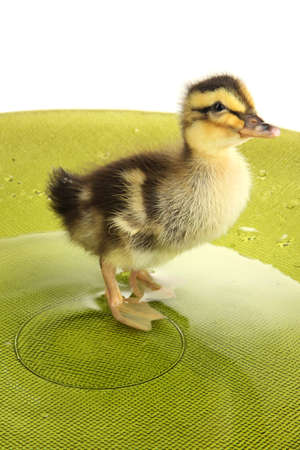 Floating cute duckling close up photo