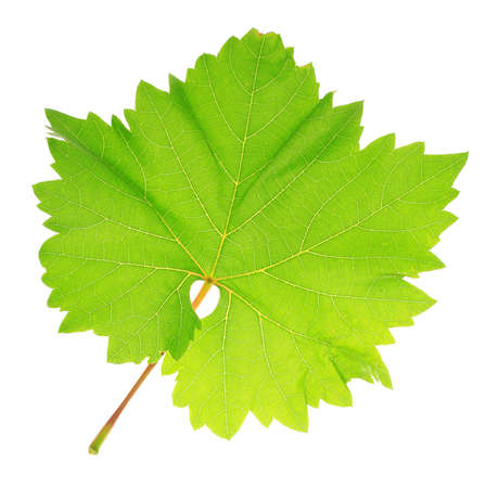Beautiful green leaf isolated on white photo