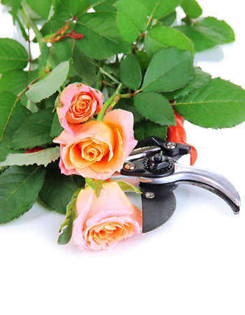 severed: Garden secateurs and roses isolated on white Stock Photo