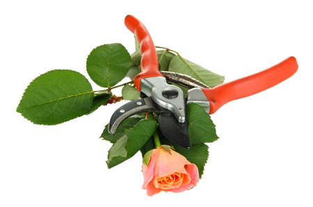 Garden secateurs and rose isolated on white photo
