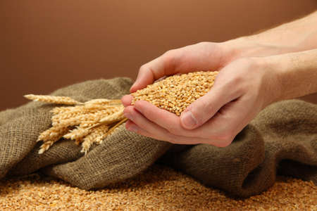wheat fields: man hands with grain, on brown background