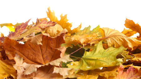 dry autumn maple leaves isolated on  white photo