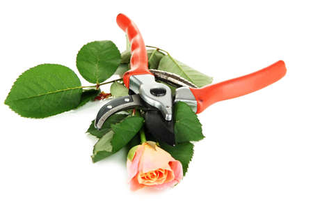 secateurs: Garden secateurs and rose isolated on white Stock Photo